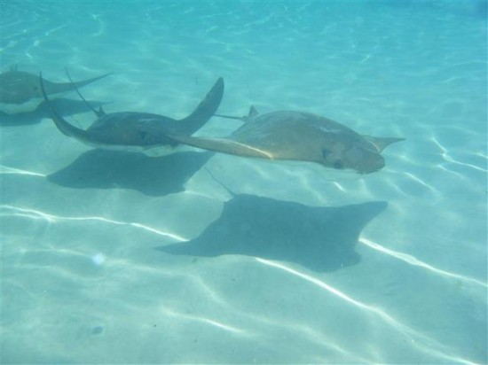 Discovery Cove Orlando: Swimming with sting rays.